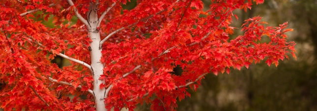Bright-Red-Maple-Leaves-Panoramic-Fall-Colors-2-Watermark